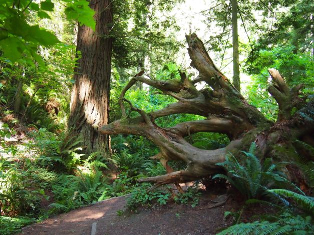 more pics of redwood trees along the trail